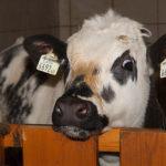 Von Milch und Kühen