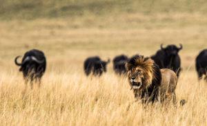 Safari Live, Löwe